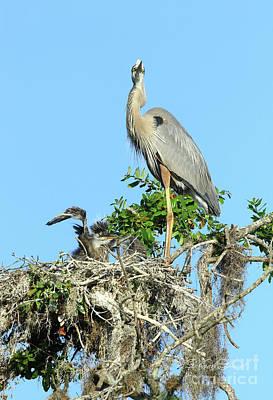 Photograph - Blue Heron Series Baby 2 by Deborah Benoit