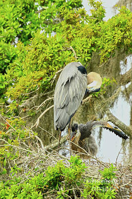 Photograph - Blue Heron Series Little One by Deborah Benoit
