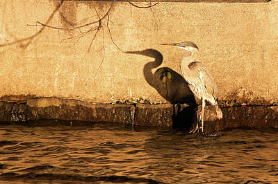 Little Mosters - Blue Heron Shadow by Robert Clifford