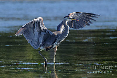 Painting - Blue Heron Show-off by Sue Harper