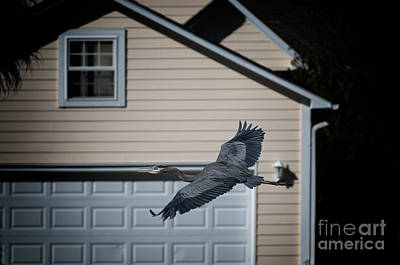 Photograph - Blue Heron Soaring by Dale Powell
