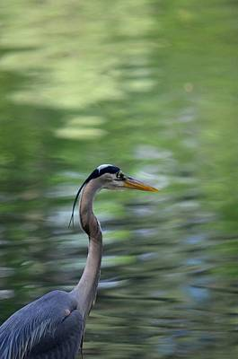 Photograph - Blue Heron Solitude by Maria Urso
