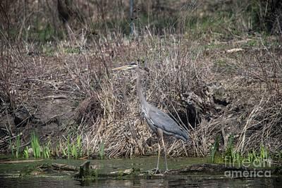 Photograph - Blue Heron Stalking Dinner by David Bearden