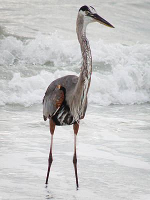 Photograph - Blue Heron Standing In Ocean Waves  by Rose  Hill