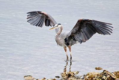 Photograph - Blue Heron Take Off by Athena Mckinzie