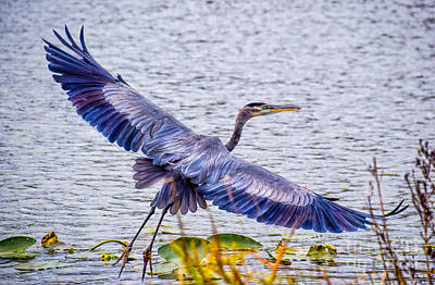 Photograph - Blue Heron  Take Off  by Peggy Franz