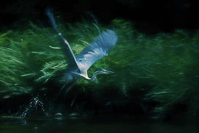 Photograph - Blue Heron Take Off by Wade Brooks