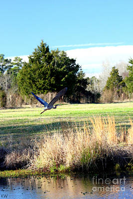 Photograph - Blue Heron Taking To Flight by Kathy White