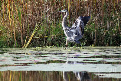 Photograph - Blue Heron Touching Down by Cathy  Beharriell