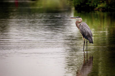 Photograph - Blue Heron Wading by Jessica Nelson