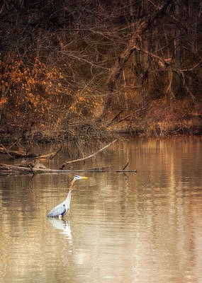 Photograph - Blue Heron Wading by Susan Rissi Tregoning