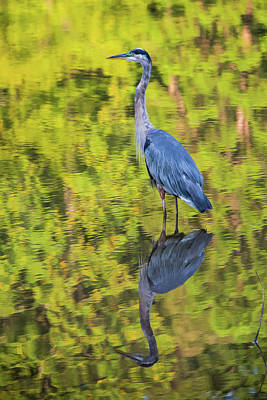 Photograph - Blue Heron Wading by William Briscoe