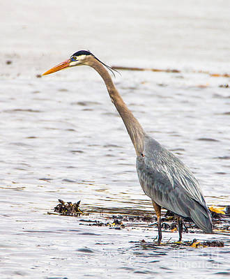 Photograph - Blue Heron Walking Tall by Bill Woodstock
