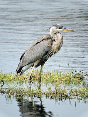 Photograph - Blue Heron by William Albanese Sr