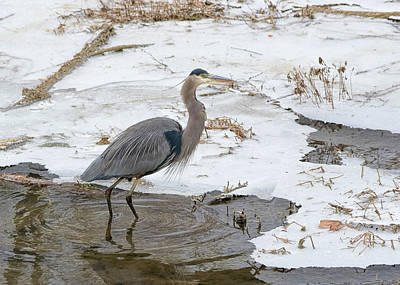 Photograph - Blue Heron Winter Scene by Ron Grafe