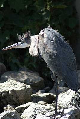 Photograph - Blue Heron With Mohawk by Ron Read