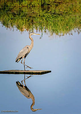 Photograph - Blue Heronreflection by LeeAnn McLaneGoetz McLaneGoetzStudioLLCcom