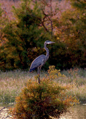 Blue Herron Photograph - Blue Heron In The Failing Light 269 by Steven Ward