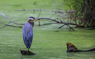 Blue Herron Photograph - Blue Herron by Sam Amato