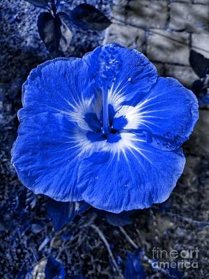 Photograph - Blue Hibiscus by Rachel Hannah