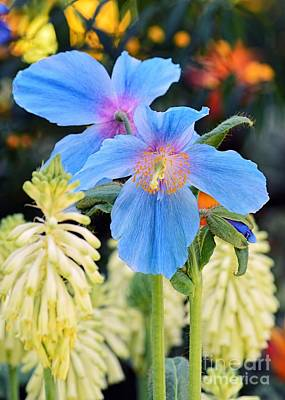 Photograph - Blue Himalayan Poppies by Sharon Woerner