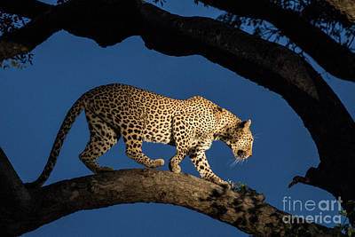 Photograph - Blue Hour Leopard by Jennifer Ludlum