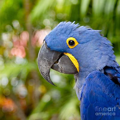 Animal Portraits Royalty Free Images - Blue Hyacinth Macaw Royalty-Free Image by Sharon Mau