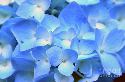 Photograph - Blue Hydrangea by Brian O'Kelly