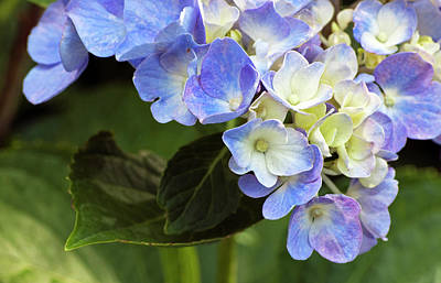 Photograph - Blue Hydrangea by Elsa Marie Santoro