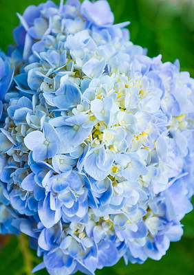 Blue Hydrangea From Above Art Print by Shelby  Young