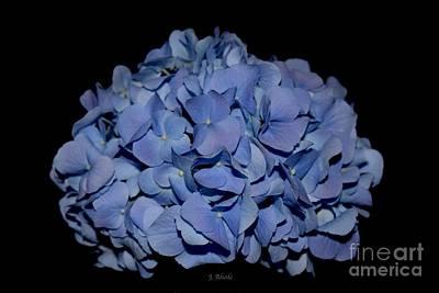 Photograph - Blue Hydrangea  by Jeannie Rhode