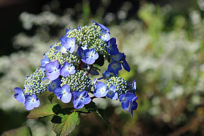 Photograph - Blue Hydrangea by Living Color Photography Lorraine Lynch