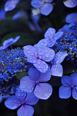 Water Drops Photograph - Blue Hydrangea by Noah Cole
