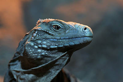 Photograph - Blue Iguana by Debi Dalio