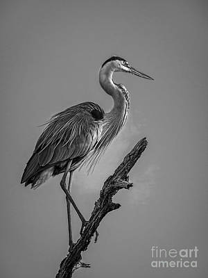 Egret Landscape Photograph - Blue In Black-bw by Marvin Spates