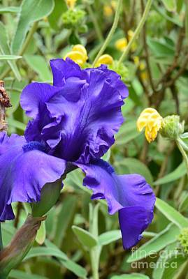 Photograph - Blue Iris And Jerusalem Sage by Maria Urso