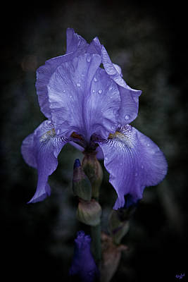 Photograph - Blue Iris by Chris Lord