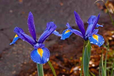 Door Locks And Handles - Blue Iris Germanica by Emerald Studio Photography