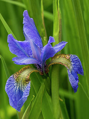 Photograph - Blue Iris by Inge Riis McDonald