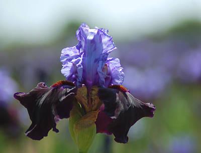 Blue Iris Art Print by Scott Gould