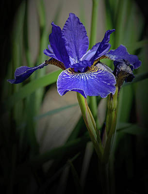 Photograph - Blue Iris by Tikvah's Hope