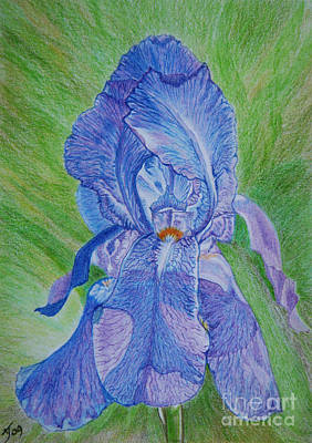 Drawing - Blue Iris by Yvonne Johnstone