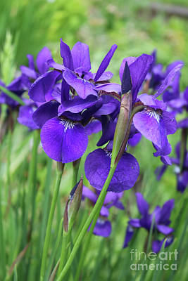 Photograph - Blue Irises by Carol Groenen
