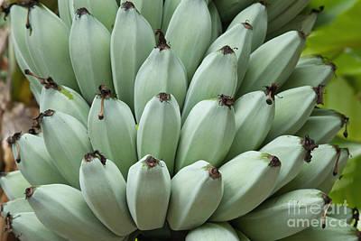 Blue Java Bananas Print by Inga Spence