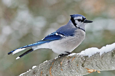 Photograph - Blue Jay 6548 by Michael Peychich