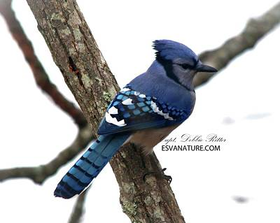Photograph - Blue Jay 9815 by Captain Debbie Ritter