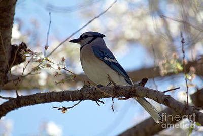 Photograph - Blue Jay Among Blossoms by Alycia Christine