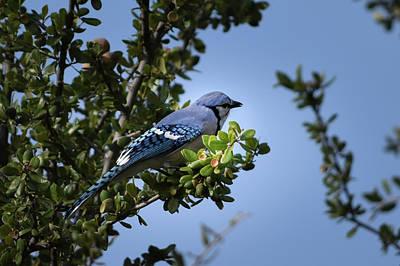 Photograph - Blue Jay At Rest by Debra Martz