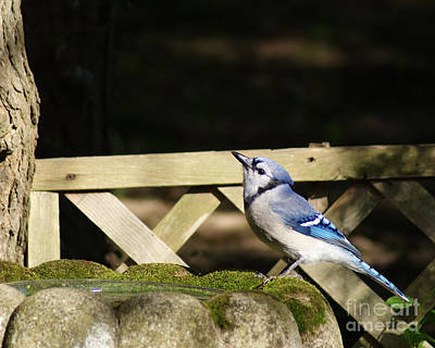 Photograph - Blue Jay At The Birdbath by Margie Avellino