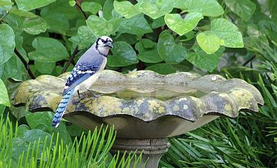Blue Jay At The Birdbath Art Print by Richard Rizzo